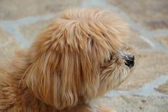 Lhasa Apso hund i en trädgård Arkivfoto