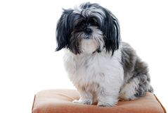 Lhasa apso isolated Stock Photos