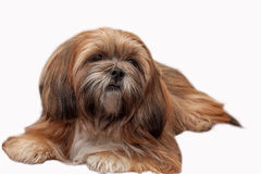 Lhasa Apso isolated at white background royalty free stock photos