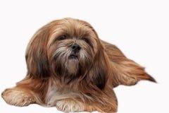 Lhasa Apso isolated at white background. Lhasa Apso dog breed lies isolated on white background Royalty Free Stock Photos