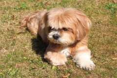 Lhasa Apso laying down on grass. In a garden Royalty Free Stock Images