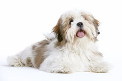 Lhasa Apso Lying Down Stock Photo