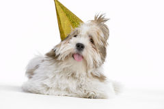 Lhasa Apso Lying Down Wearing Party Hat Stock Photo