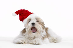 Lhasa Apso Lying Down Wearing Party Hat Stock Image