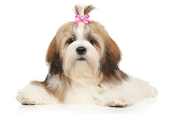 Lhasa Apso lying down Stock Photography