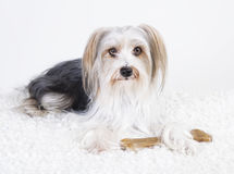 Lhasa apso mongrel Royalty Free Stock Photo