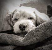 Lhasa Apso Monochromatic Portrait de sommeil photographie stock libre de droits