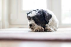 Lhasa Apso pies na dywanika czekaniu dla właściciela Obrazy Stock