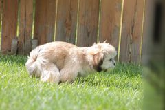 Lhasa Apso Pooping In The Yard Royalty Free Stock Photo