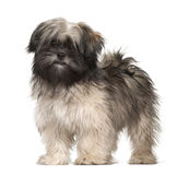 Lhasa apso portrait Royalty Free Stock Image