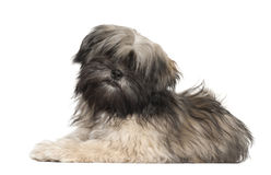 Lhasa apso portrait Royalty Free Stock Photos
