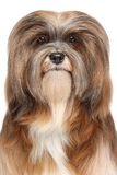 Lhasa Apso portrait Stock Photos