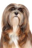 Lhasa Apso portrait. Lhasa Apso dog. Close-up portrait on isolated white background Stock Photo