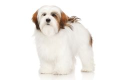 Lhasa Apso portrait Royalty Free Stock Photography