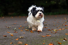 Lhasa Apso portret, śliczny pies outdoors na jesień spacerze Zdjęcia Stock