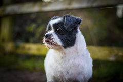 Lhasa Apso-portret, leuke hond in openlucht royalty-vrije stock afbeelding