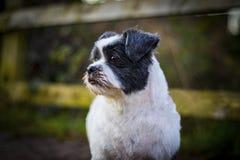 Lhasa Apso portret, śliczny pies outdoors Obraz Royalty Free