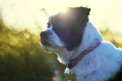 Lhasa Apso portret, śliczny pies outdoors Zdjęcia Stock