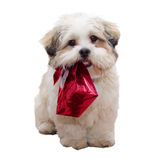 Lhasa apso puppy. Cute lhasa apso puppy carrying a gift bag Stock Image