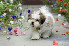 Lhasa apso puppy Stock Image