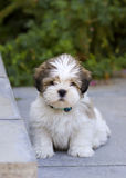 Lhasa apso puppy. Cute lhasa apso puppy sitting on the patio Royalty Free Stock Image