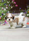 Lhasa apso puppy. Cute lhasa apso puppy amongst poppies and cornflowers Stock Photography