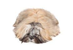 Lhasa apso puppy lying on white Royalty Free Stock Photos