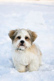 Lhasa apso puppy in the snow. Cute lhasa apso puppy in the snow stock image