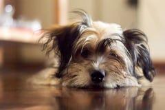 Lhasa apso puppy suggar brown Royalty Free Stock Image