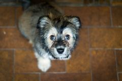 Lhasa apso puppy suggar brown Royalty Free Stock Photos