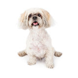 Lhasa Apso Purebred Dog fotografia stock libera da diritti