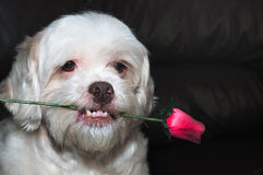 Lhasa apso romantic dog holding a rose in his mouth. Royalty Free Stock Image