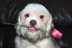 Lhasa apso romantic dog holding a rose in his mouth. Very beautiful, very loving dog. Royalty Free Stock Photography