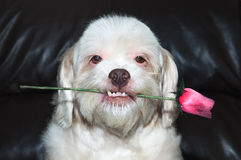 Lhasa apso romantic dog holding a rose in his mouth. Very beautiful, very loving dog. Stock Photos