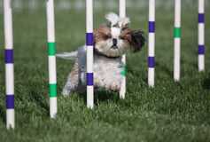 Lhasa Apso running agility. A Lhasa Apso dog running through the agility course weaves Royalty Free Stock Photo