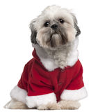 Lhasa Apso in Santa outfit, 13 months old Royalty Free Stock Photo