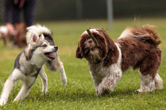 Lhasa Apso and a Siberian husky dog mix play. With a stick in a dog park in summer stock image