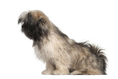 Lhasa apso sitting Stock Photography