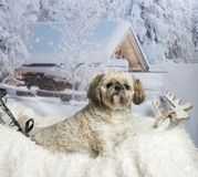 Lhasa apso sitting on fur rug in winter landscape. Lhasa apso sitting on fur rug, winter landscape Royalty Free Stock Images