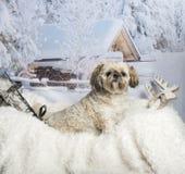 Lhasa apso sitting on fur rug in winter scene. Lhasa apso sitting on fur rug, winter scene Royalty Free Stock Photo