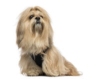 Lhasa apso sitting Royalty Free Stock Image
