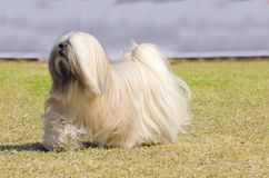 Lhasa Apso. A small young light tan, fawn, beige, gray and white Lhasa Apso dog with a long silky coat running on the grass. The long haired, bearded Lasa dog Stock Images