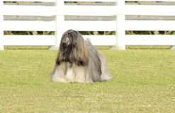 Lhasa Apso. A small young light tan, fawn, beige, gray and white Lhasa Apso dog with a long silky coat standing on the grass. The long haired, bearded Lasa dog Royalty Free Stock Photography