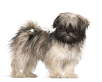 Lhasa apso standing Royalty Free Stock Images