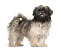 Lhasa apso standing royalty free stock photo