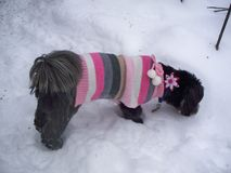 Lhasa Apso wearing Sweater Stock Photo
