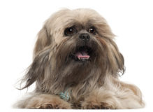 Lhasa Apso wearing a tie and lying Royalty Free Stock Images