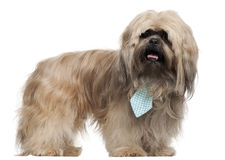 Lhasa Apso wearing a tie and standing Royalty Free Stock Photos