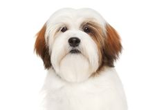 Lhasa Apso on a white background Royalty Free Stock Images