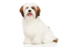 Lhasa Apso on a white background. Lhasa Apso in front of a white background Stock Images
